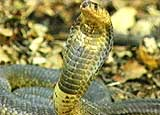 The Egyptian cobra