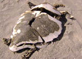 The desiccated turtle